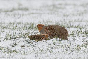 Patrijs ~ Grey Partridge - Achterberg [Achterbergse Hooilanden] 20190123 [4051]