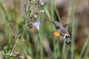 Kolibrievlinder ~ Macroglossum stellatarum ~ Hummingbird Hawk-moth - Saint-Félix-de-Pallières 20180915 [7896]