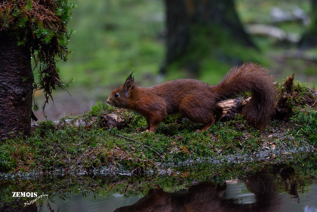 Eekhoorn ~ Squirrel - PHV [Otterlo] 20171222 [5082]
