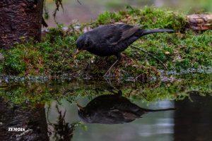 Merel ~ Blackbird ♂ - PHV [Otterlo] 20171222 [5128]