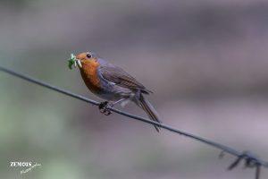 Roodborst ~ European Robin - Hattem [Molencaten] 20170522 [3509]