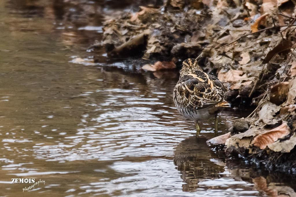 Watersnip ~ Common Snipe - Hattem [Molencaten] 20180303 [8630]