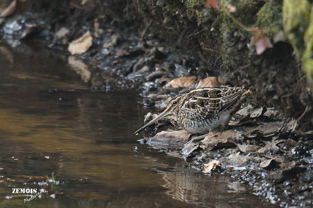 Watersnip ~ Common Snipe - Hattem [Molencaten] 20180304 [8685]