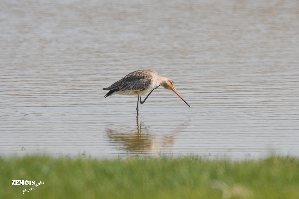 Grutto ~ Black-tailed Godwit ♀ - Kimswerd 20180420 [4215]