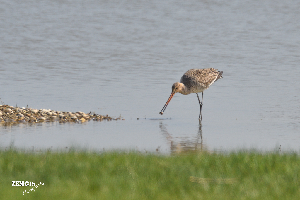 Grutto ~ Black-tailed Godwit ♀ - Kimswerd 20180420 [4232]