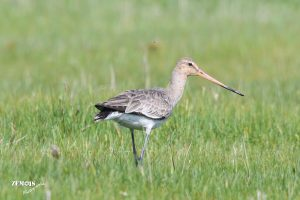 Grutto ~ Black-tailed Godwit ♀ - Kimswerd 20180420 [4703]