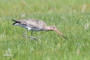 Grutto ~ Black-tailed Godwit ♀ - Kimswerd 20180420 [4707]