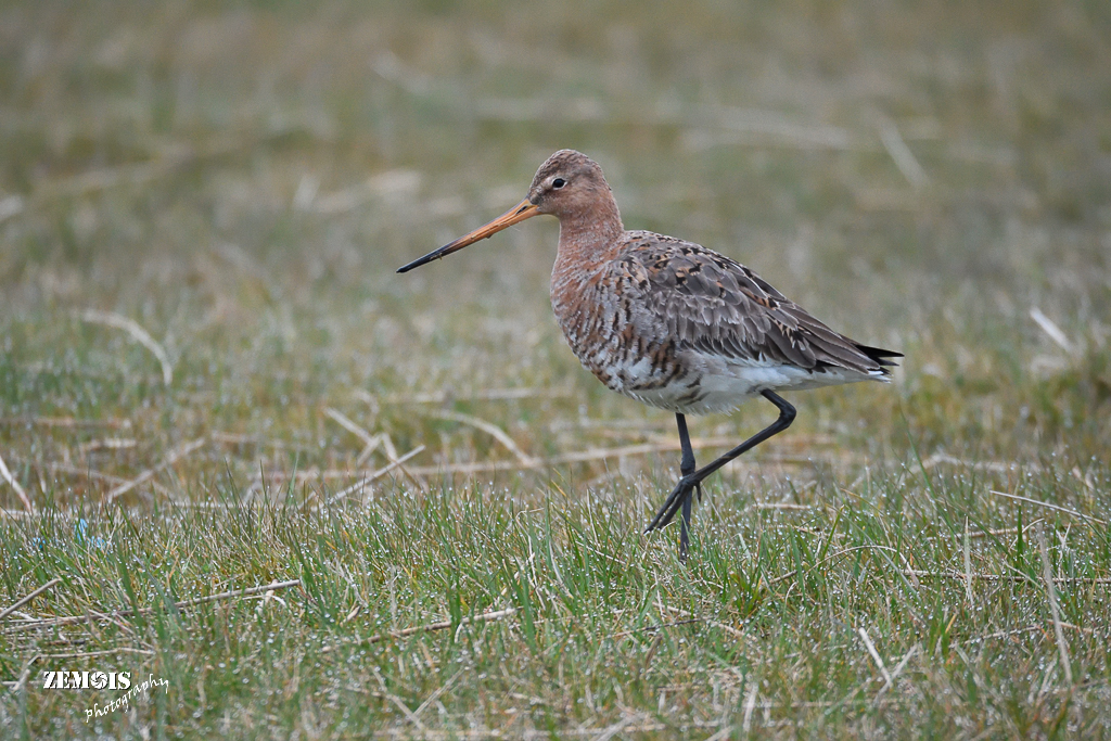 Grutto ~ Black-tailed Godwit ♂ - Kimswerd 20180409 [01]