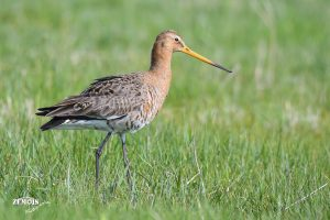 Grutto ~ Black-tailed Godwit ♂ - Kimswerd 20180420 [4827]