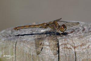 Steenrode heidelibel ~ Sympetrum vulgatum ♀ - Hattem [4Akker] 20190921 [1601]